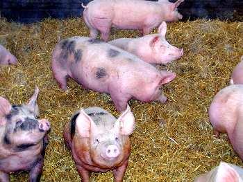 Die Schweine im Schweinestall